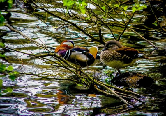 Mandarin Ducks – Cannop Ponds, Forest of Dean