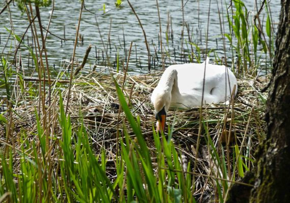 Mute Swan – Cannop Ponds, Forest of Dean