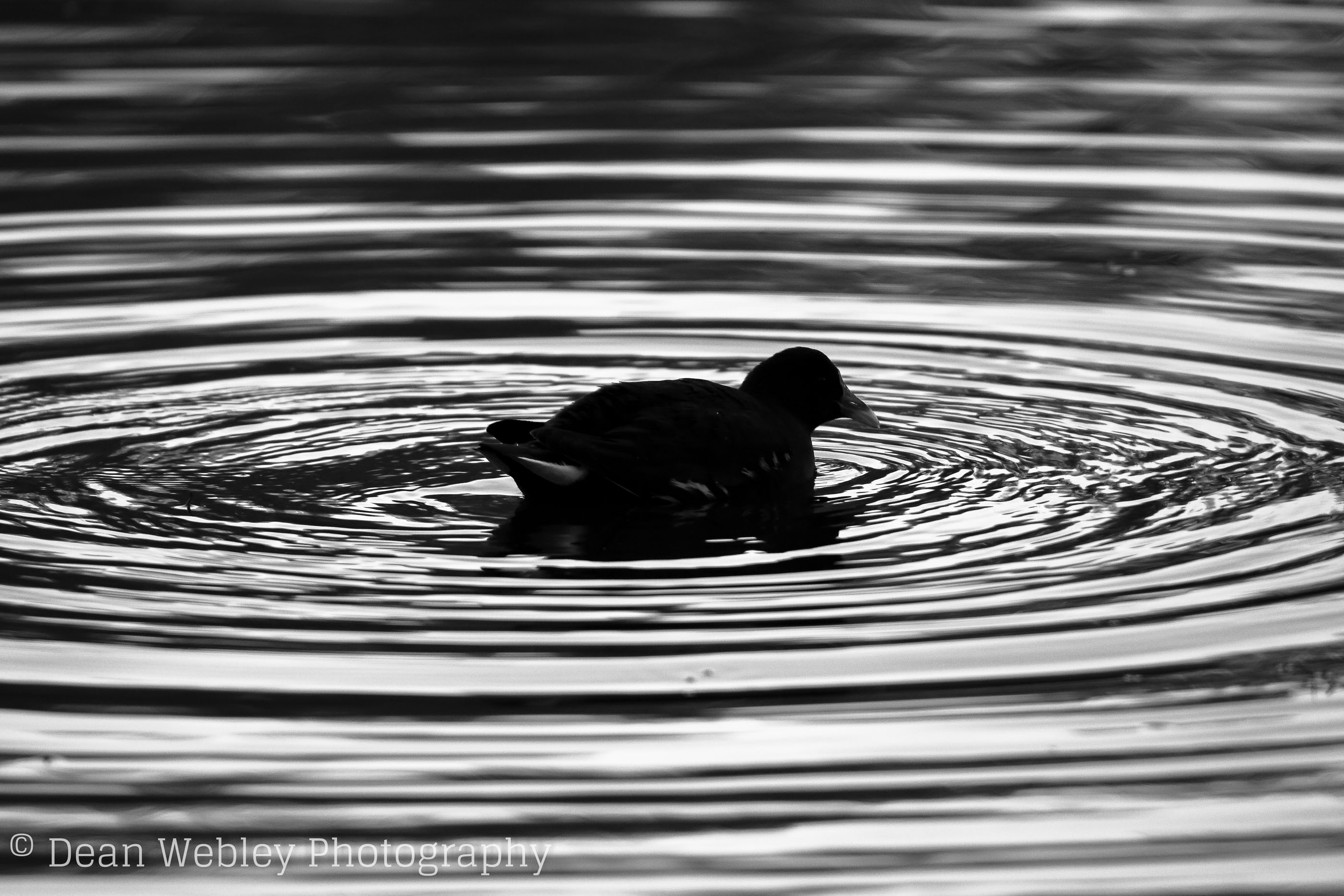 Black and White Mallard Duck Surrounded By Ripples, Taken at Cannop Ponds in the Forest of Dean