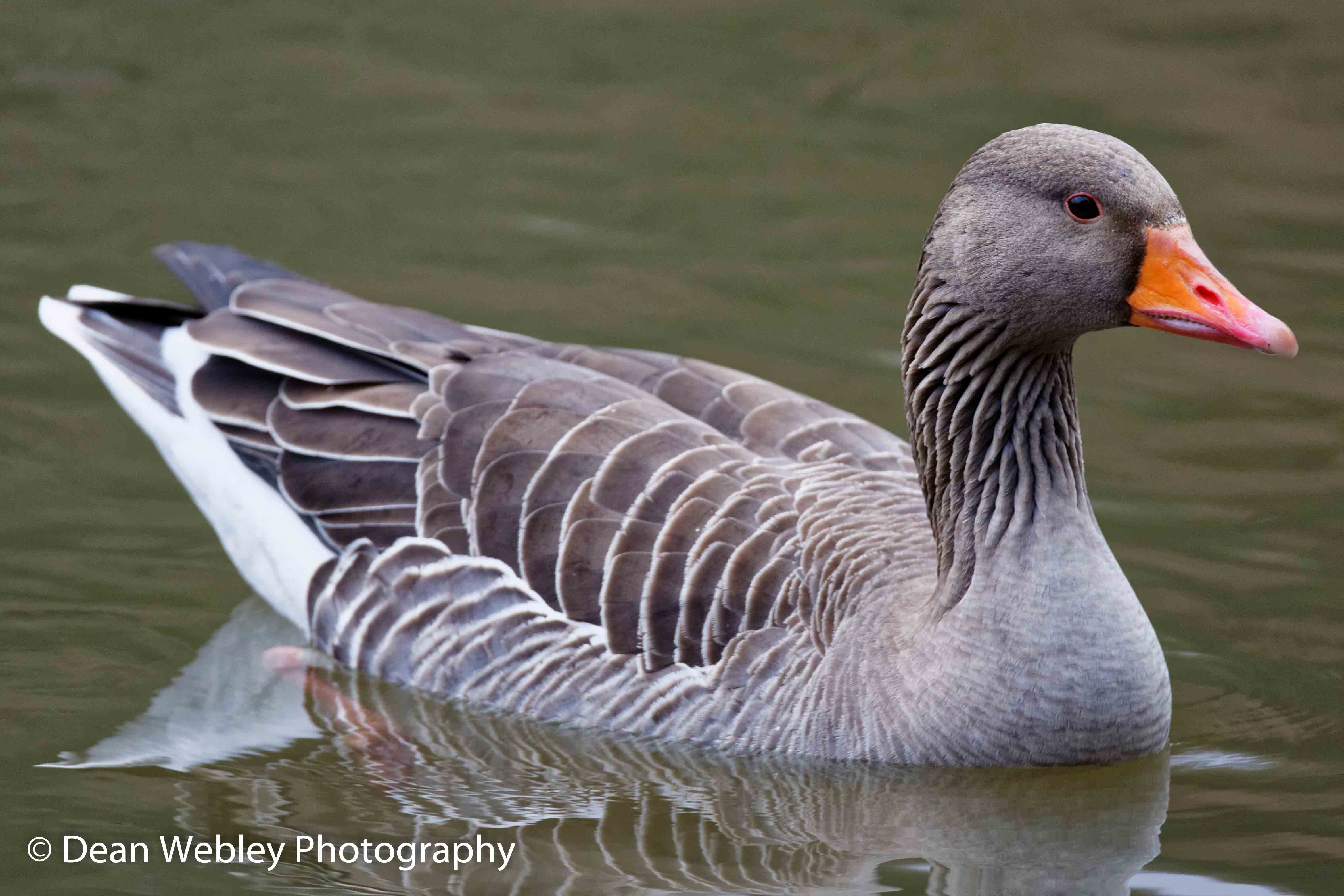Domestic Goose In Water Side On, Taken In The Forest Of Dean