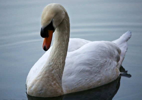 Swans & Ducks – Cannop Ponds, Forest of Dean