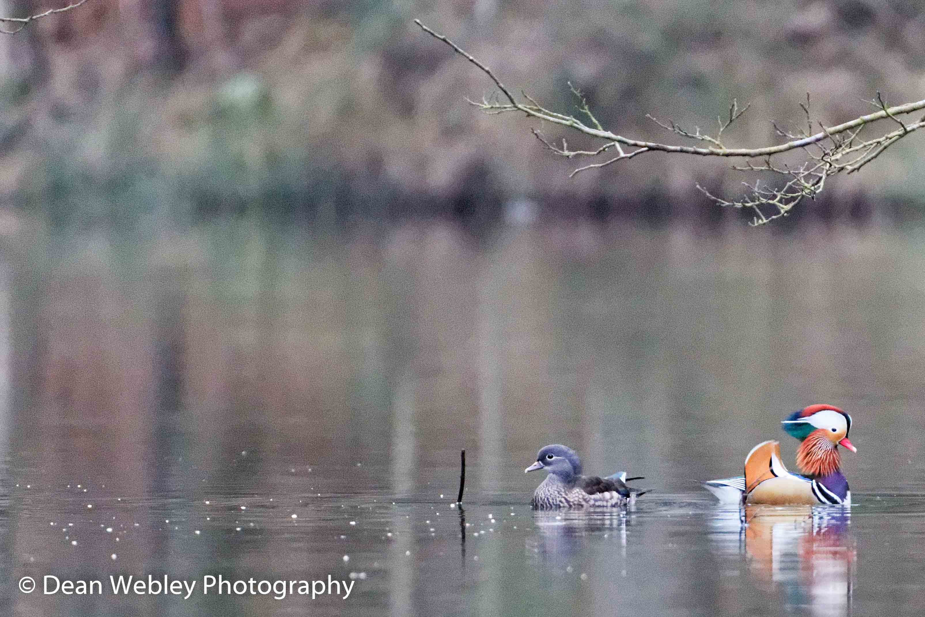 Male and Female Mandarin Ducks On Water Back To Back, Taken In The Forest Of Dean
