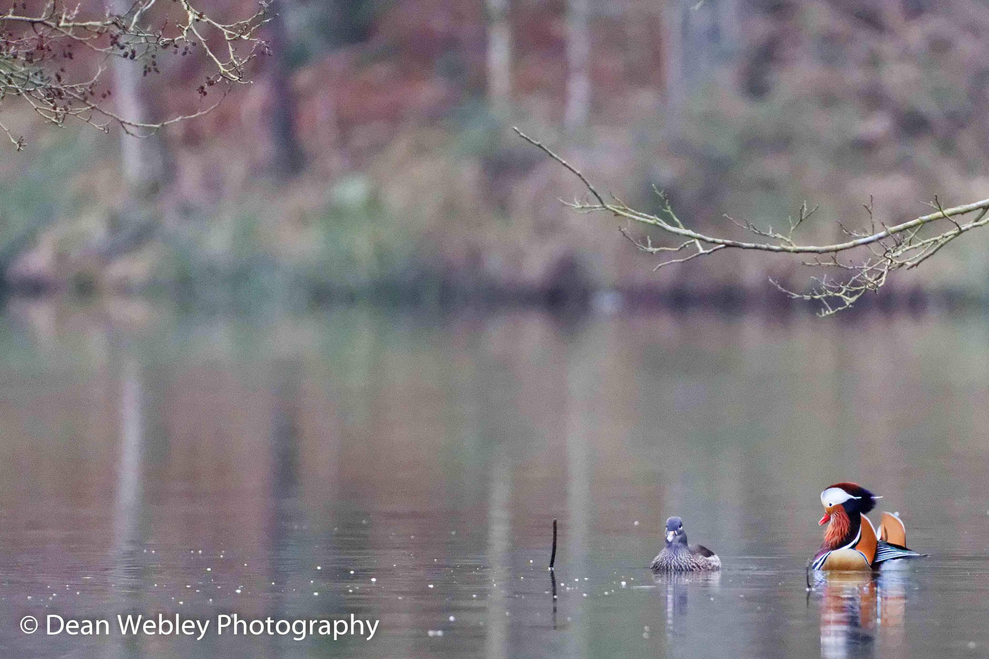 Male and Female Mandarin Ducks On Water, Taken In The Forest Of Dean