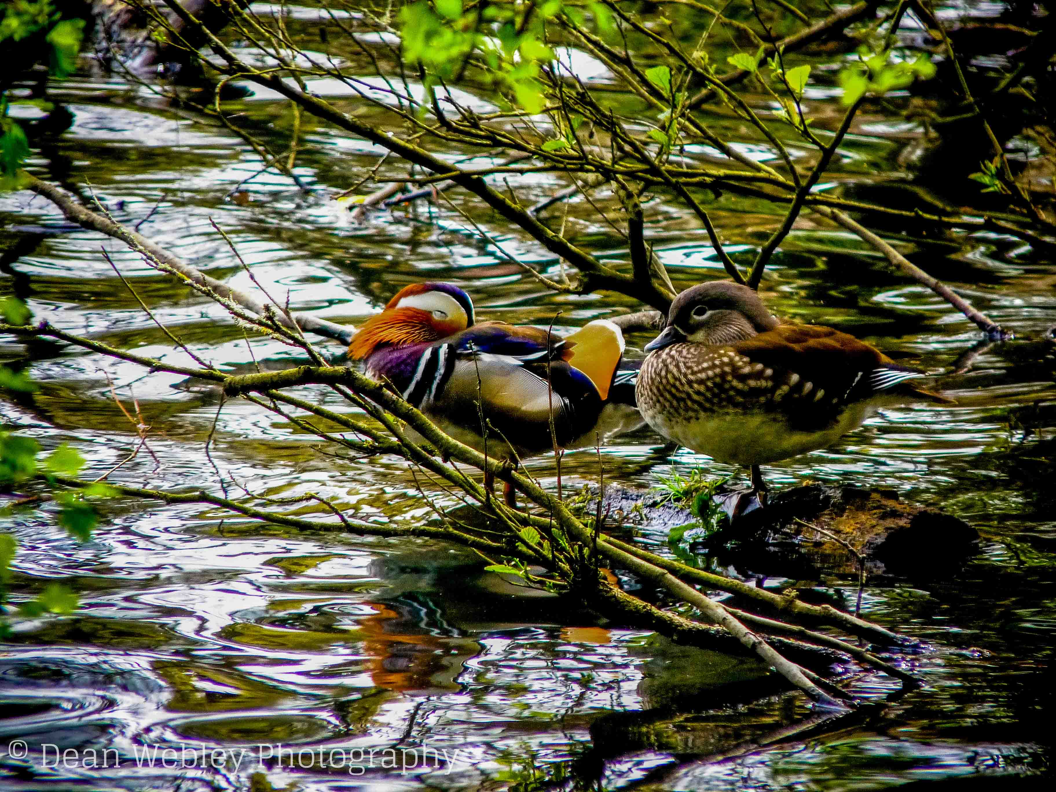 Mandarin Ducks at Cannop Ponds in The Forest of Dean