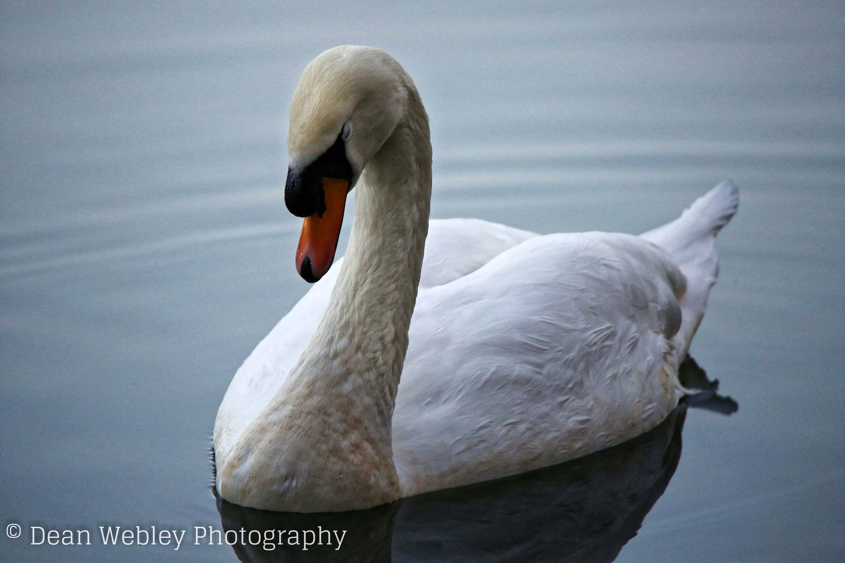 Mute Swan, Taken at Cannop Ponds in the Forest of Dean