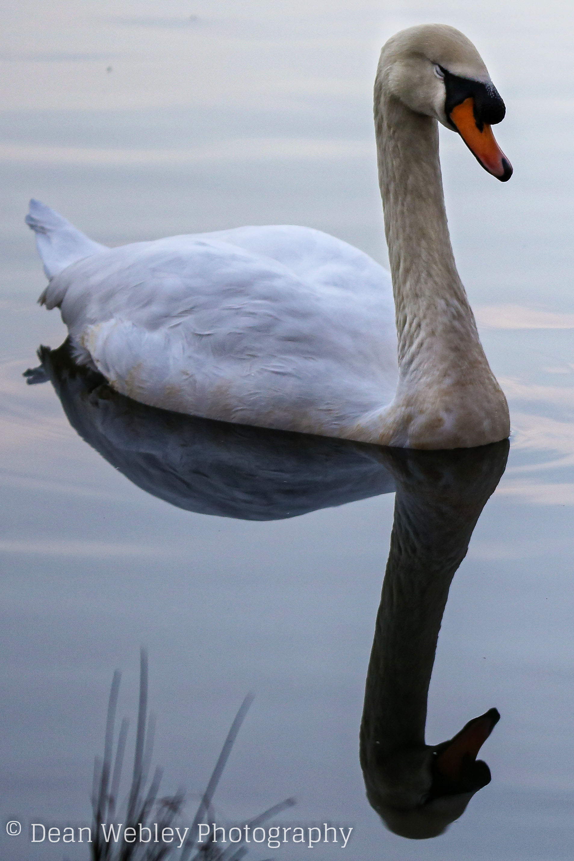Mute Swan With Reflection, Taken at Cannop Ponds in the Forest of Dean