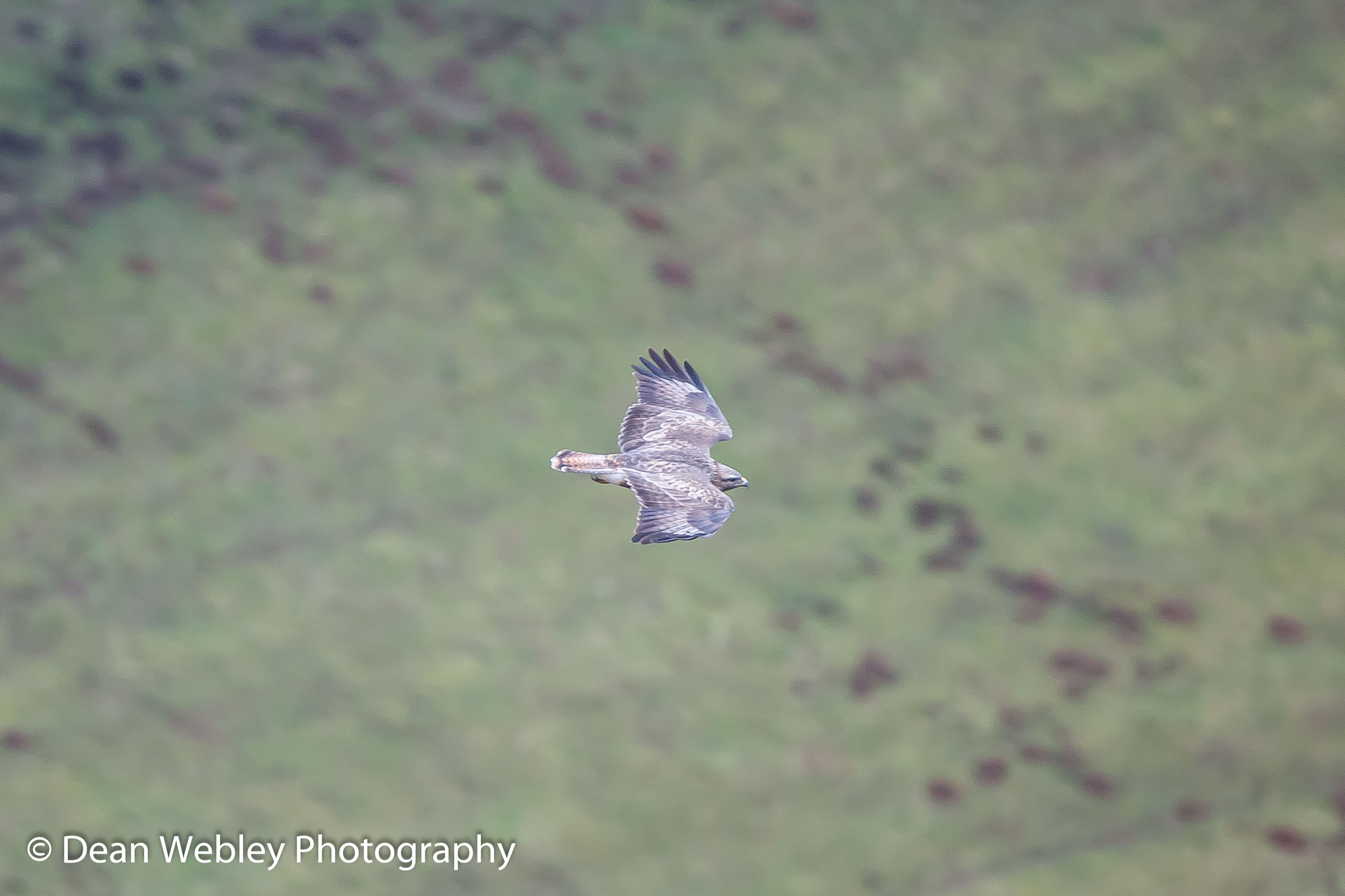 Peregrine Falcon in Flight at Symonds Yat