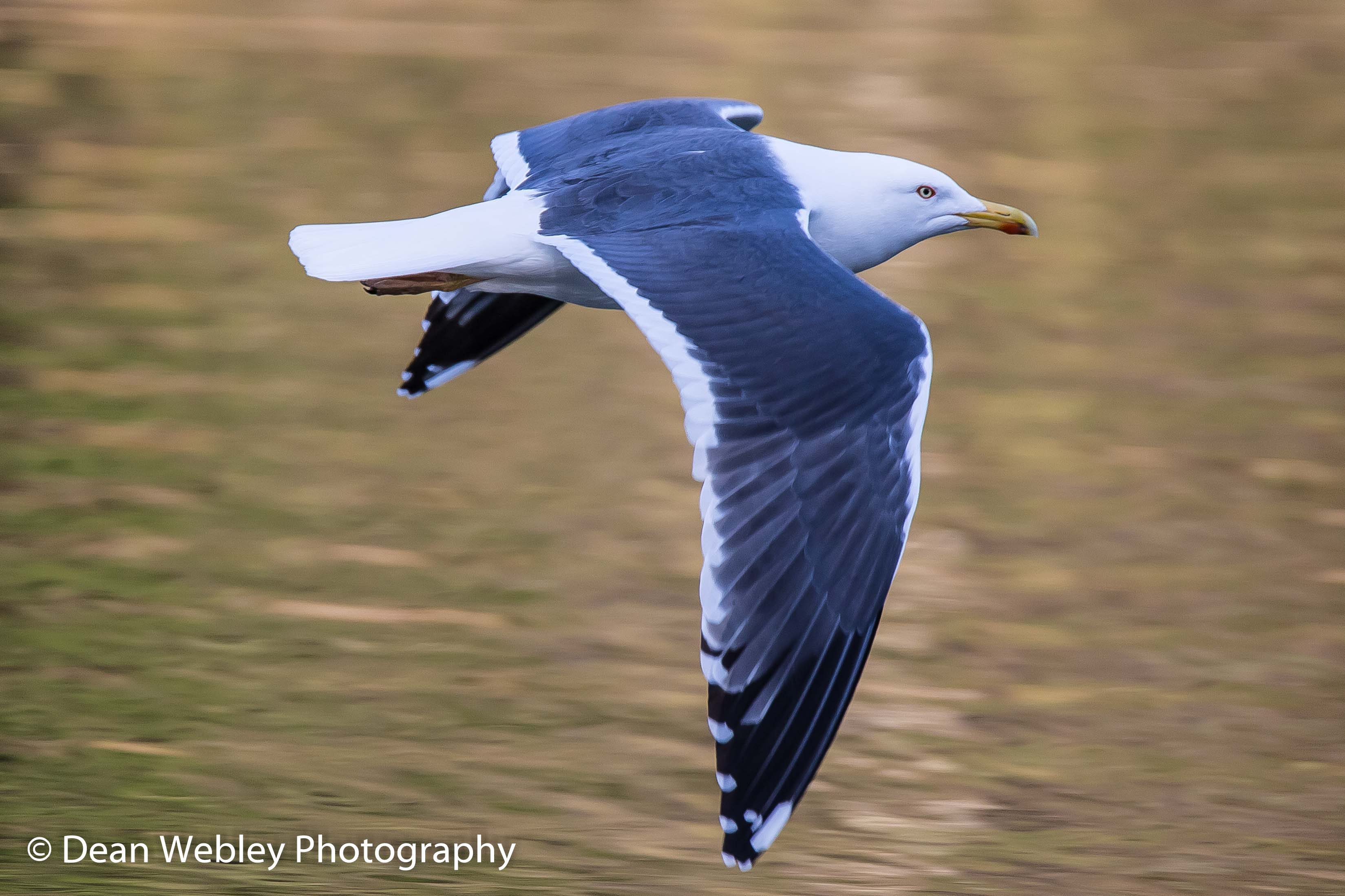 Seagull flying at mallards pike in the forest of dean