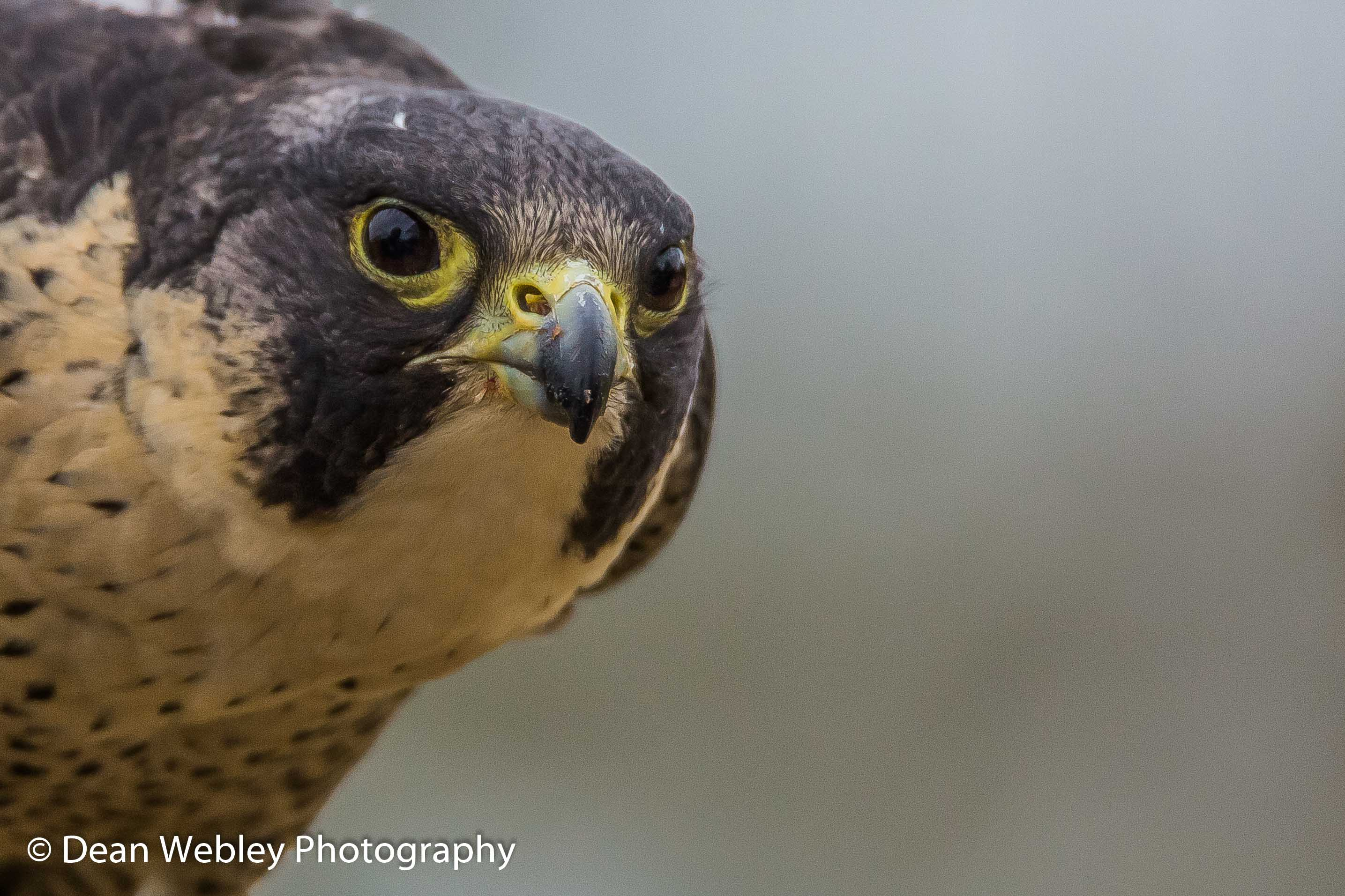 Peregrine Falcon At The International Center For Birds Of Prey, Newent